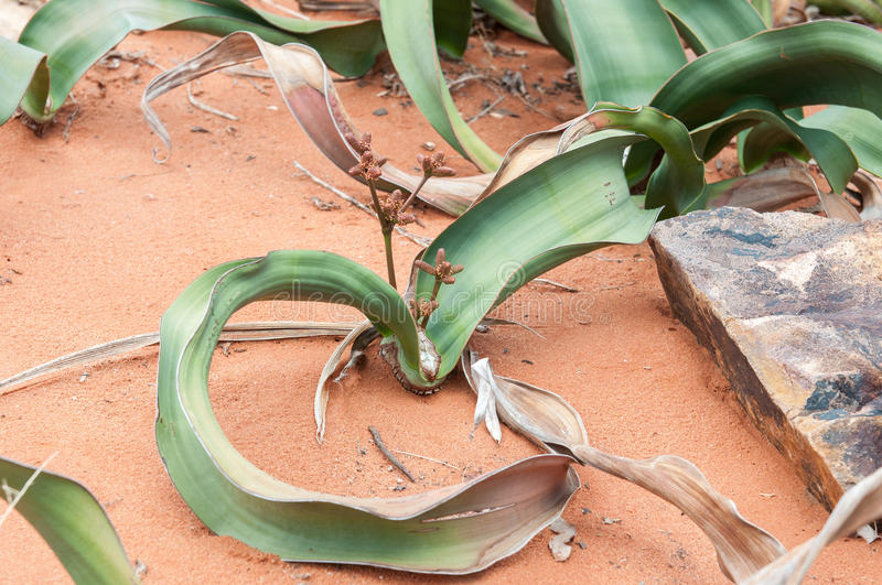Mirabilis do Welwitschia foto de stock