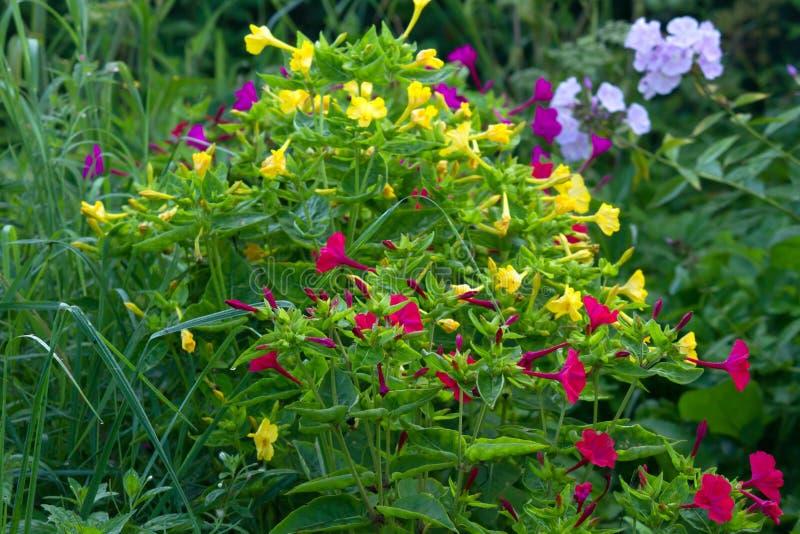 Mirabilis jalapa w lato ogródzie zdjęcie stock