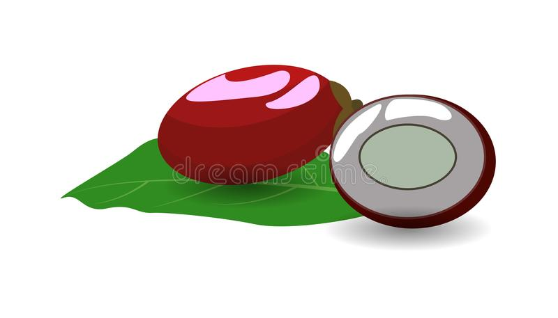 Miracle Fruit fruit on white background vector. stock illustration