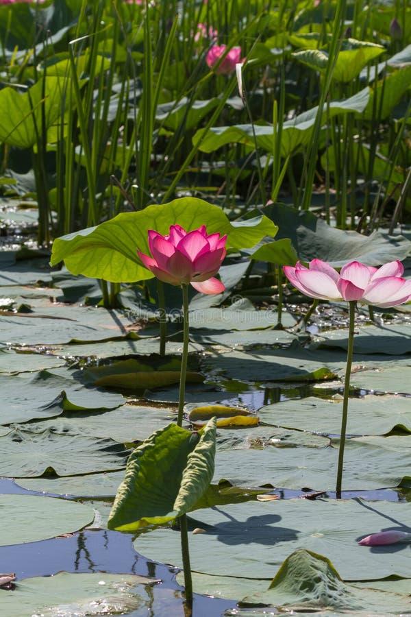 Miracolo rosa Delta di Volga fotografie stock