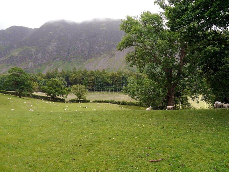 Mirada abajo del campo de ovejas con la montaña brumosa detrás imagenes de archivo