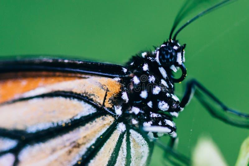 Mirada agradable del tiro hermoso del primer de la mariposa fotos de archivo libres de regalías