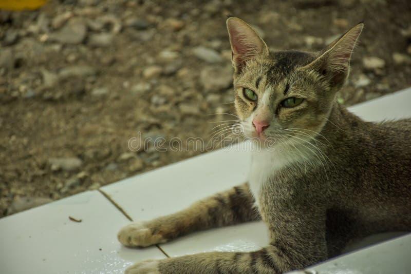 Mirada al aire libre de los gatos hermosos cerca de una puerta de madera imágenes de archivo libres de regalías