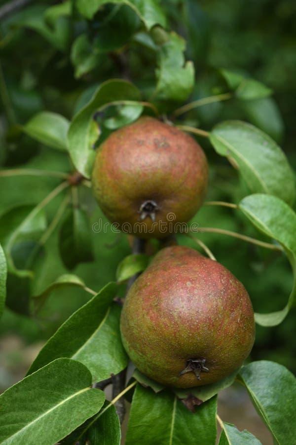 Mirada ascendente cercana en las peras frescas en un árbol frutal imagen de archivo