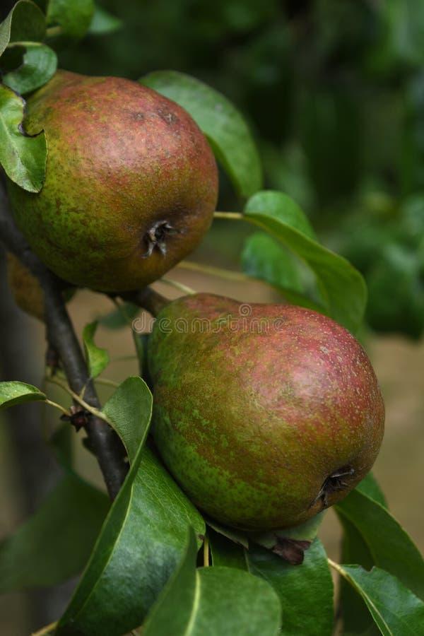 Mirada ascendente cercana en las peras en un árbol frutal imagenes de archivo