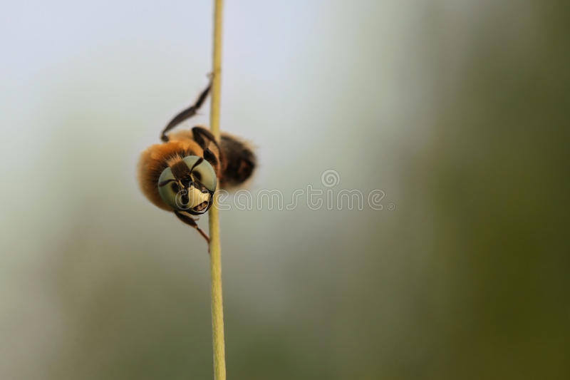 Mirada asombrosa de la abeja fotografía de archivo