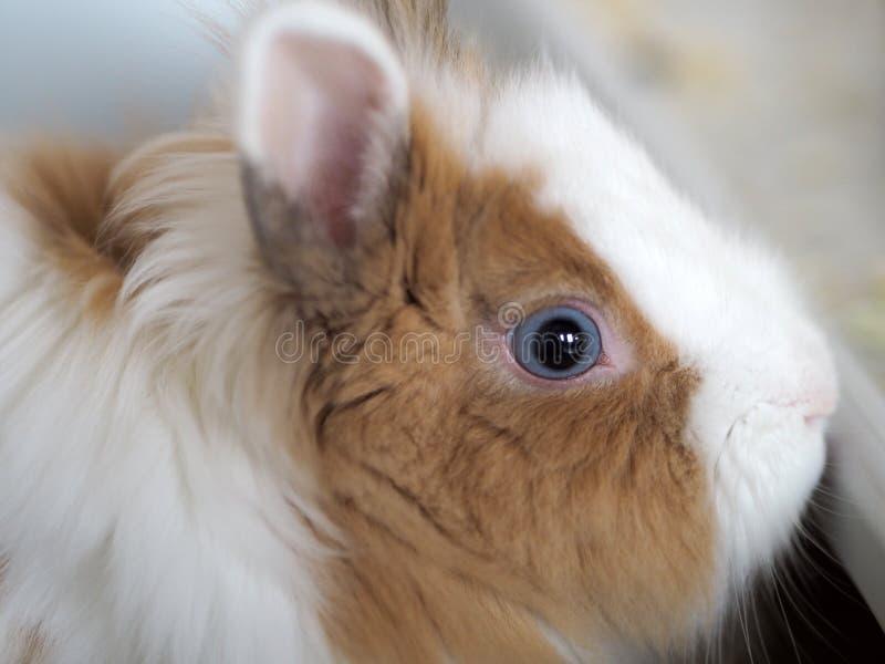 mirada Azul-gris de un pequeño conejo enano tricolor fotos de archivo libres de regalías