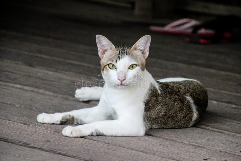 Mirada blanca del gato que parece linda fotos de archivo