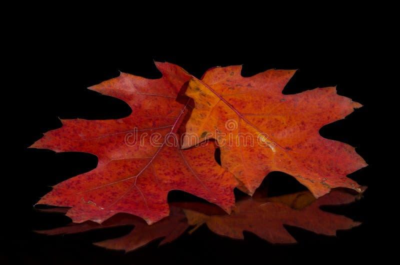 Mirada cercana en la belleza de Autumn Leaves colorido imágenes de archivo libres de regalías