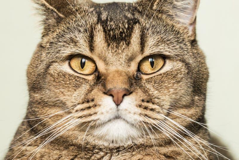 Mirada chula del gato británico del shorthair directamente en la cámara fotos de archivo