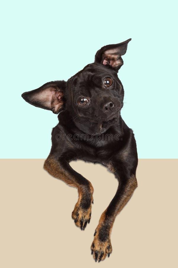 Mirada curiosa del perro de la chihuahua imagen de archivo