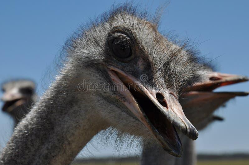 Mirada de la avestruz imagen de archivo libre de regalías