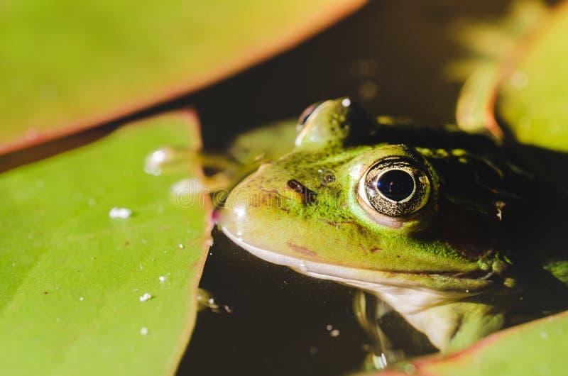 Mirada de la rana en la noche de la mirada del pantano/de la rana en la noche de las hojas del lirio de agua en el pantano fotografía de archivo