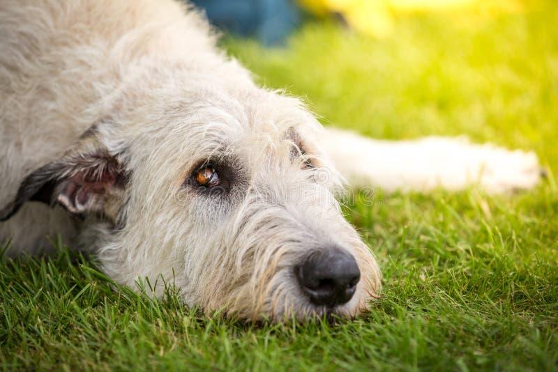 Mirada de los esparcidores de un perro lobo irlandés fotos de archivo