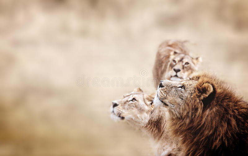 Mirada de los leones Familia de mirada africana de los leones foto de archivo libre de regalías