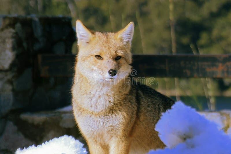 Mirada del Fox fotografía de archivo libre de regalías