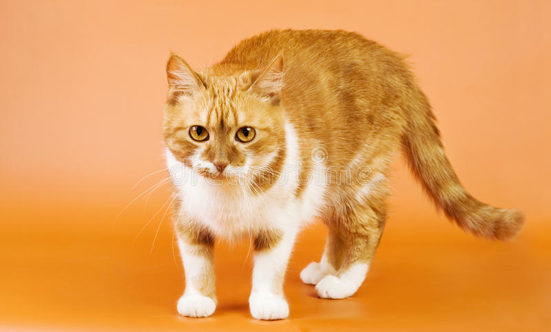 Mirada del gato del jengibre fotografía de archivo libre de regalías