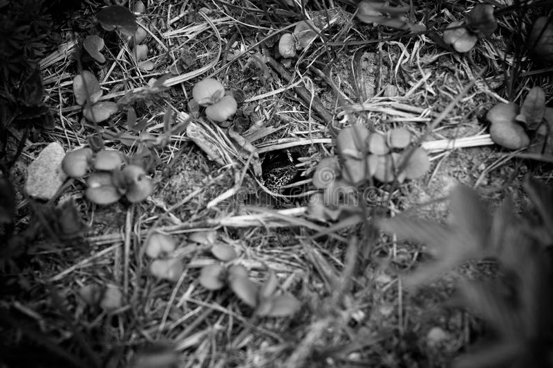 Mirada del lagarto verde en el agujero Un lagarto que oculta en la hierba en primavera Foto blanco y negro de Pek?n, China imagen de archivo