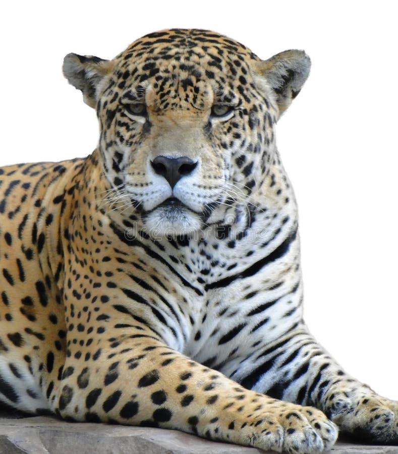 Mirada del leopardo imagenes de archivo