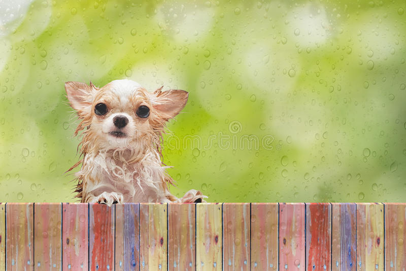 Mirada del perro de la chihuahua a través de la cerca de madera detrás de la ventana de cristal mojada fotografía de archivo