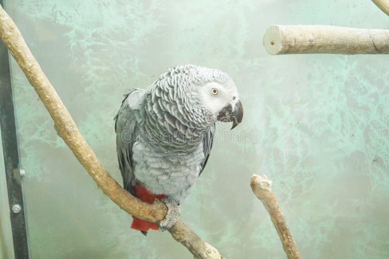 Mirada del primer de la cabeza del loro del gris africano imagen de archivo libre de regalías