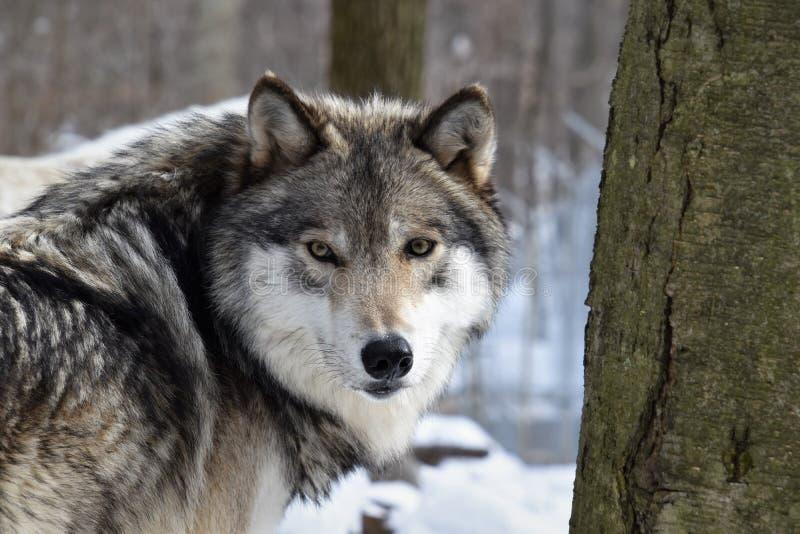 Mirada en los ojos de un lobo de madera imágenes de archivo libres de regalías