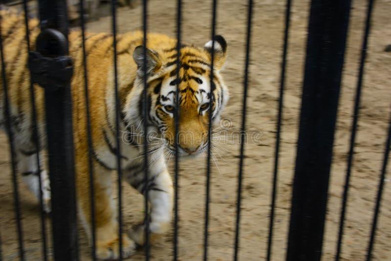 Mirada enorme del tigre a través del primer de la jaula fotos de archivo