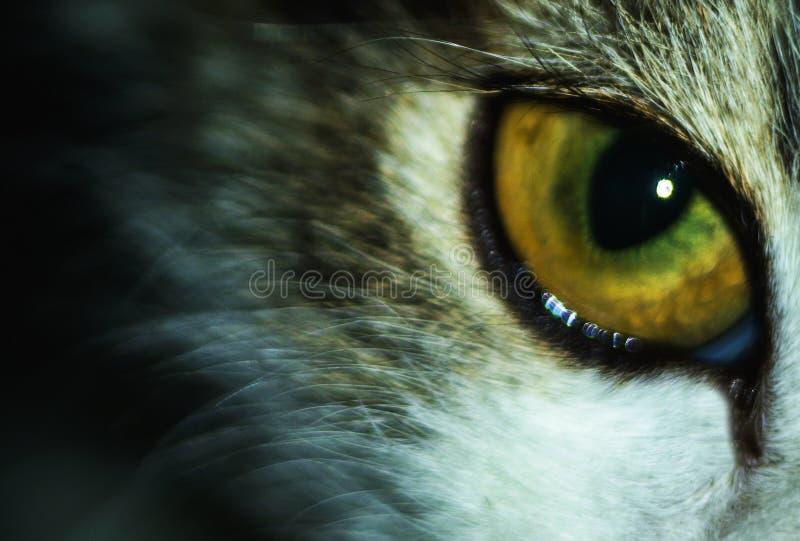 Mirada felina depredadora insidiosa Alumno del ojo del ` s del gato foto de archivo