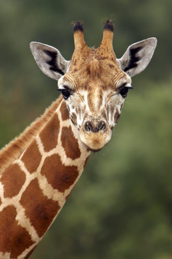 Mirada fija de la jirafa foto de archivo