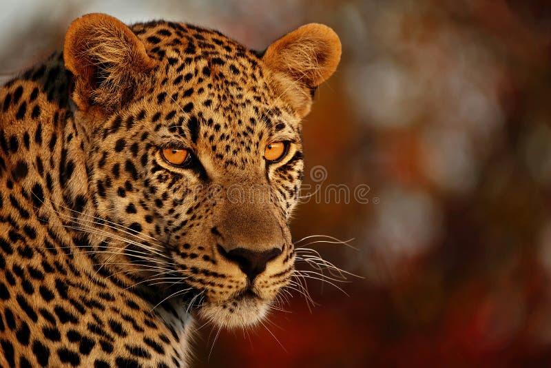 Mirada fija de los leopardos fotografía de archivo