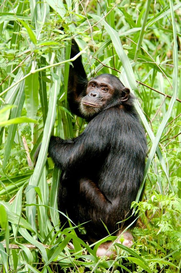 Mirada Fija Del Chimpancé Imagen de archivo