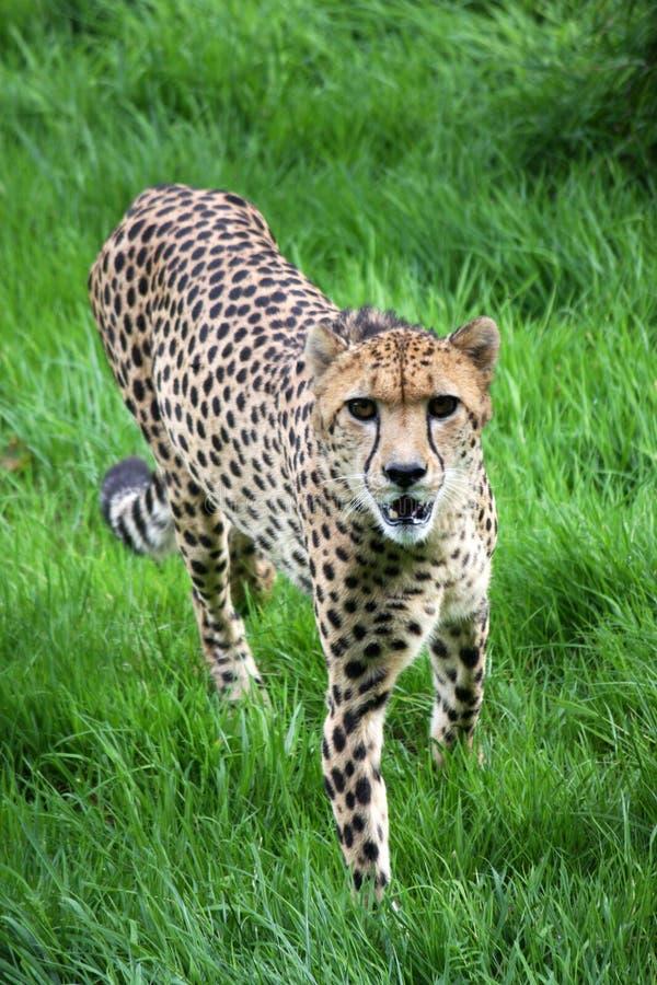 Mirada fija del guepardo imagen de archivo