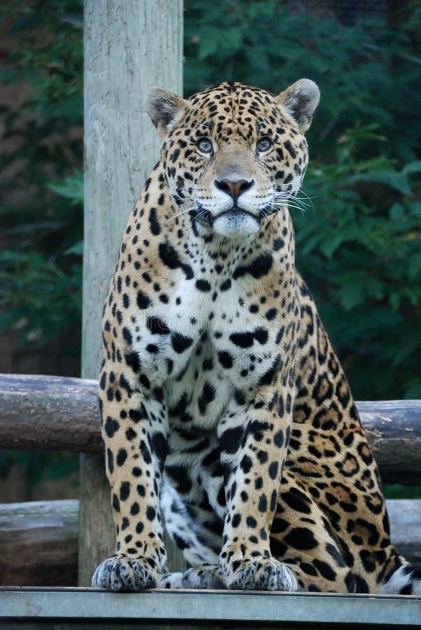 Mirada fija del jaguar imagen de archivo libre de regalías
