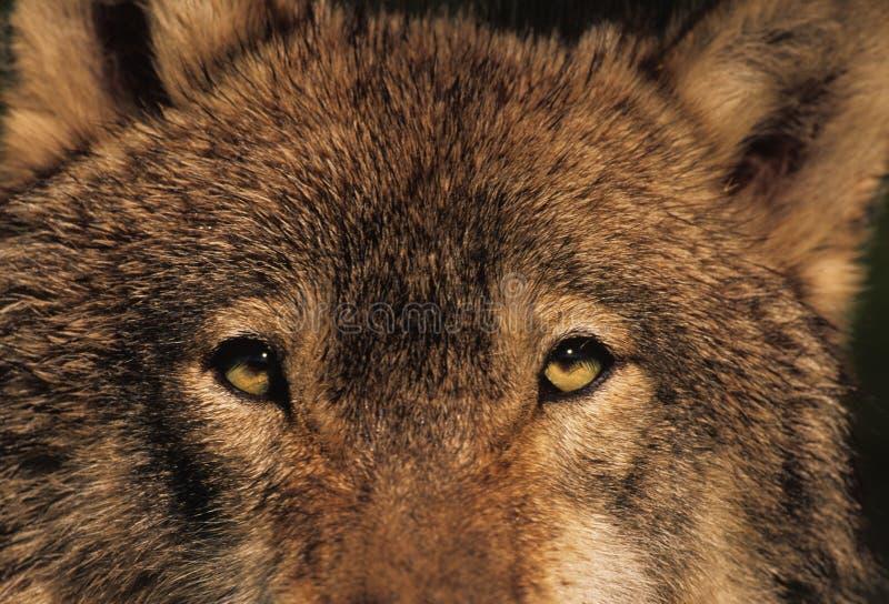 Mirada fija del lobo imagenes de archivo