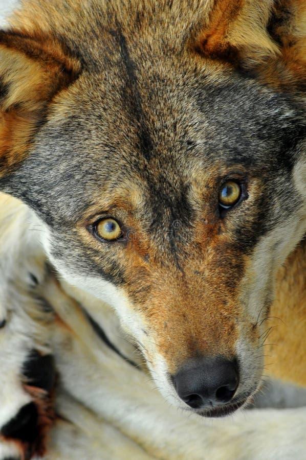Mirada Fija Del Lobo Salvaje Imagen de archivo libre de regalías
