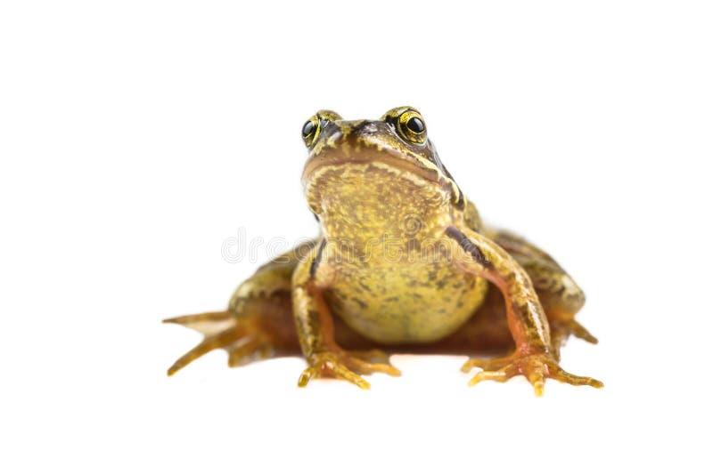 Mirada frontal de la rana marrón común fotografía de archivo libre de regalías