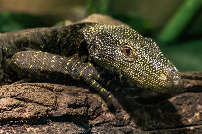Mirada grande de los ojos del ingenio de la iguana en mí fotos de archivo libres de regalías