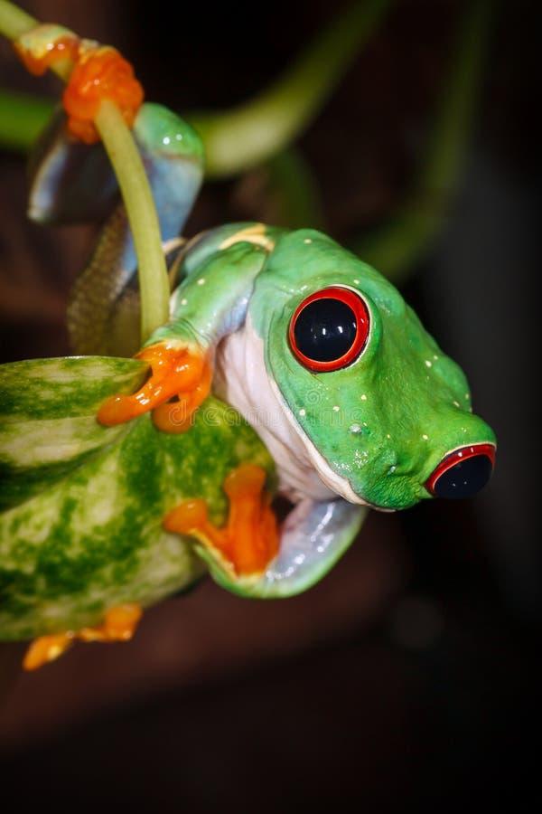 Mirada observada rojo de la rana arbórea en nosotros fotos de archivo libres de regalías