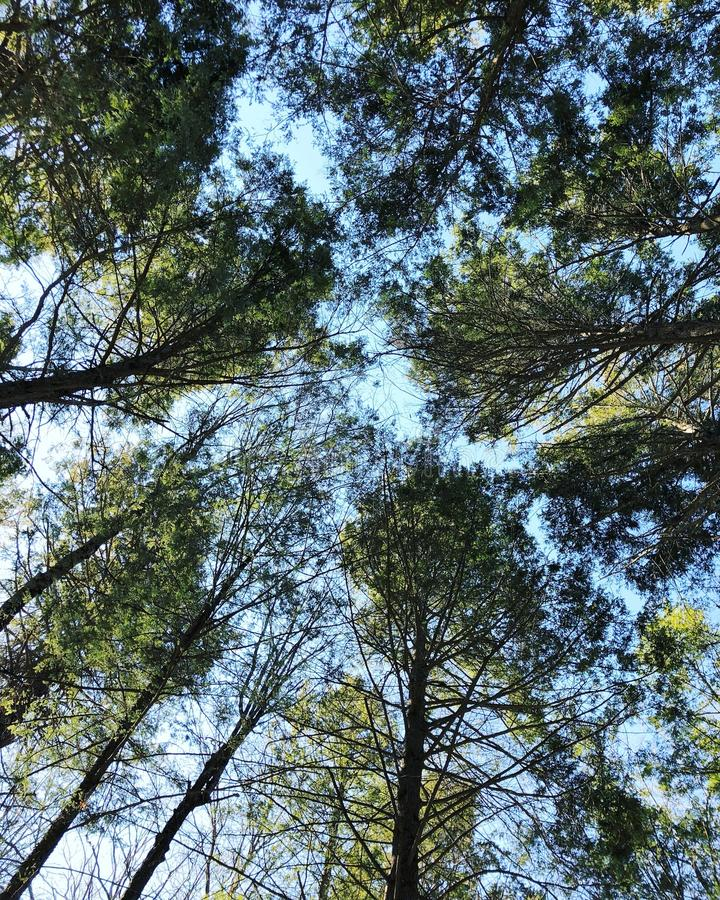 Mirada para arriba de árboles de cicutas del rastro del Mohawk imagen de archivo