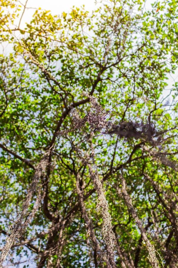 Mirada para arriba del árbol de Bodhi fotos de archivo