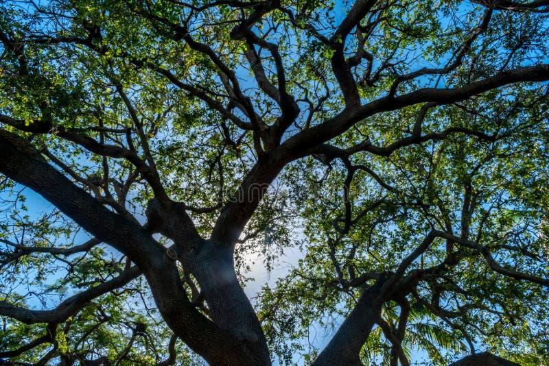 Mirada para arriba - del árbol, de las hojas y del cielo imagen de archivo