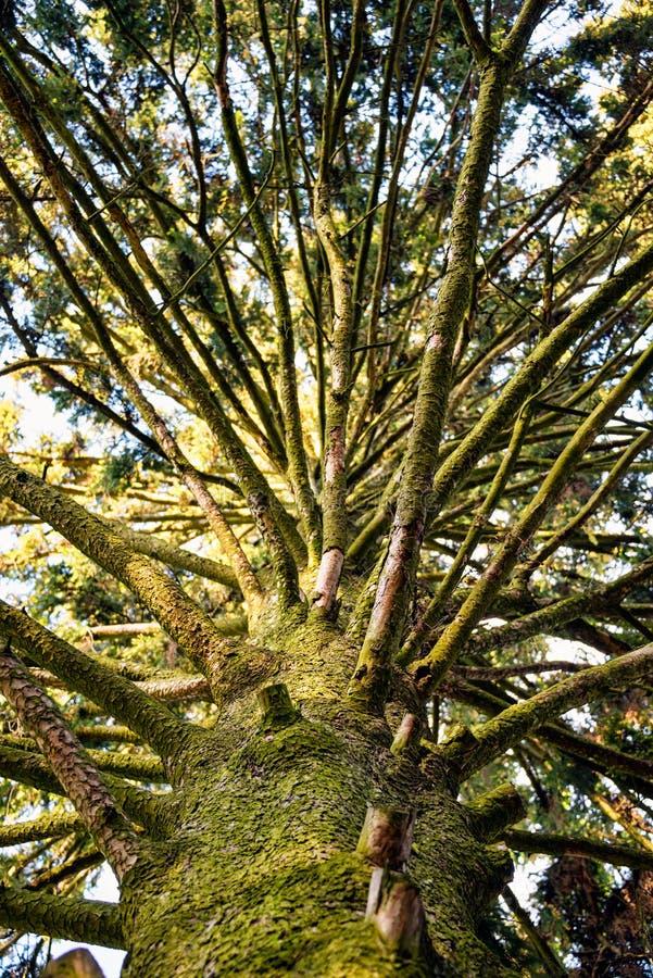 Mirada para arriba - del tronco de un árbol alto viejo fotografía de archivo libre de regalías