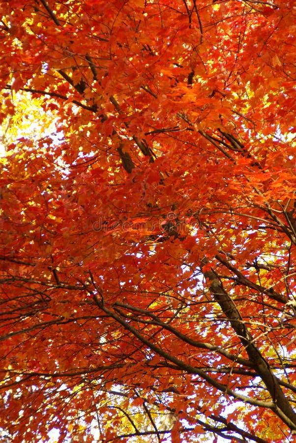 Mirada para arriba en las hojas rojas en árboles en la caída en Minnesota septentrional fotografía de archivo