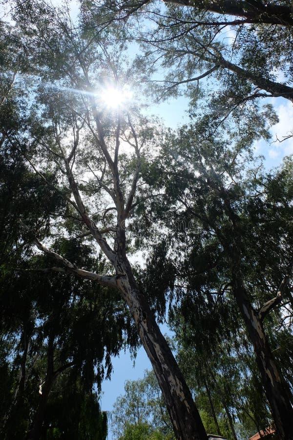 Mirada para arriba hacia árboles con un resplandor soleado imagen de archivo