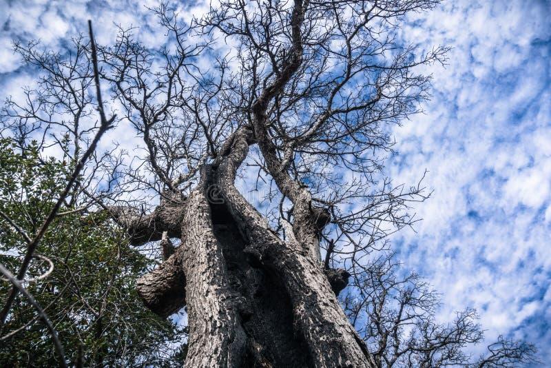 Mirada para arriba a lo largo del tronco de un roble vivo quemado foto de archivo