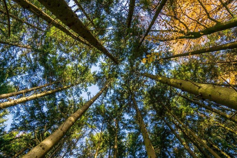 Mirada para arriba a los árboles grandes en otoño imagen de archivo