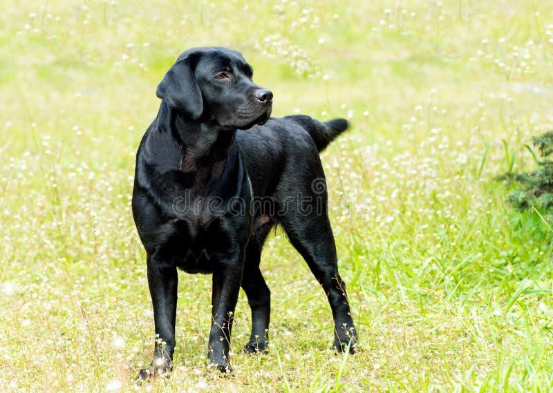 Miradas del negro de Labrador imagenes de archivo