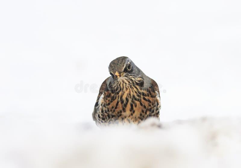 Miradas divertidas del tordo del pájaro fuera de la nieve acumulada por la ventisca en el parque imagenes de archivo