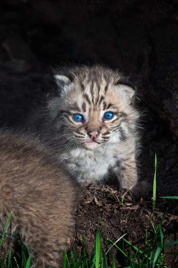 Miradas fijas del rufus de Bobcat Kitten Lynx hacia fuera dentro del registro fotos de archivo