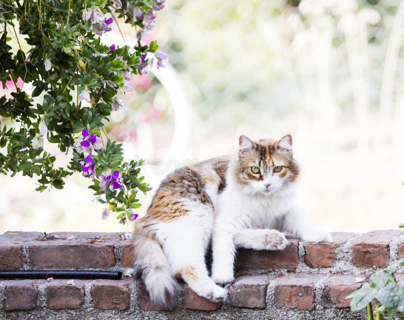 Miradas fijas divertidas de mentira de un gato tricolor peludo en el observador imágenes de archivo libres de regalías